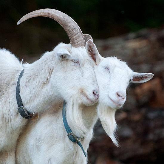 horny goats