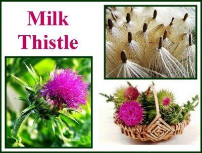 milk thistle seed