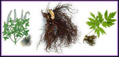 black cohosh plant
