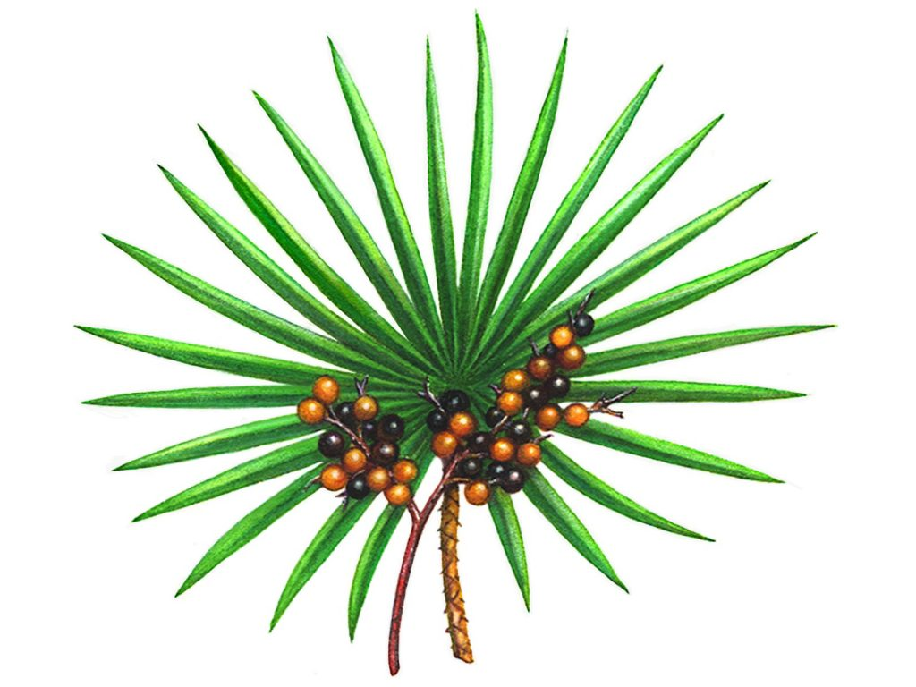 what is saw palmetto