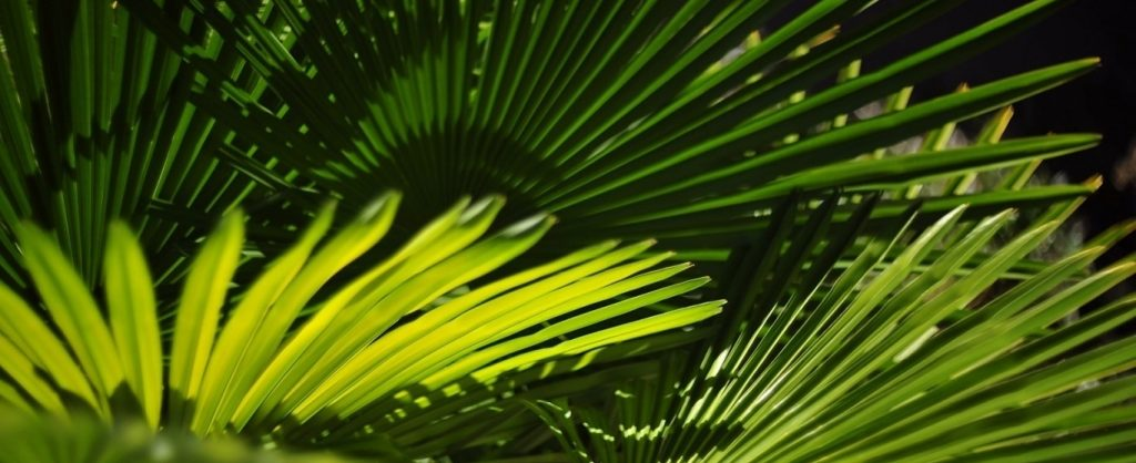 saw palmetto health benefits